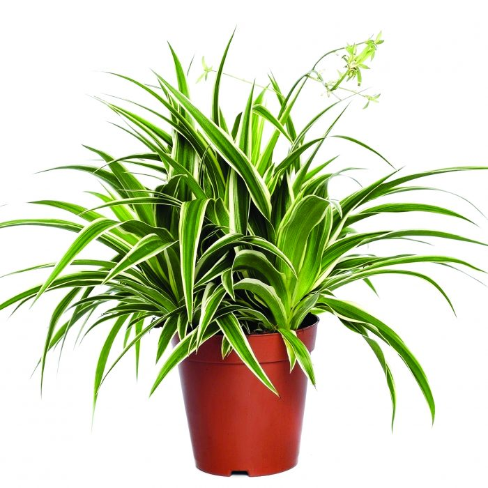 گیاه مناسب گرینوال و دیوارسبز