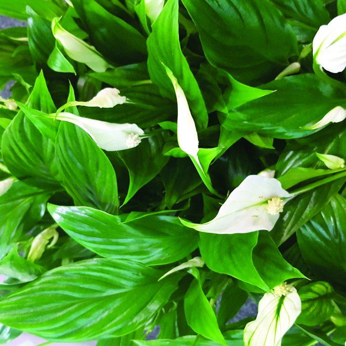 گیاهان مناسب جهت گرینوال و دیوارسبز
