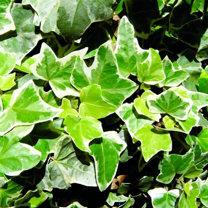 گیاهان مناسب گرینوال و دیوارسبز