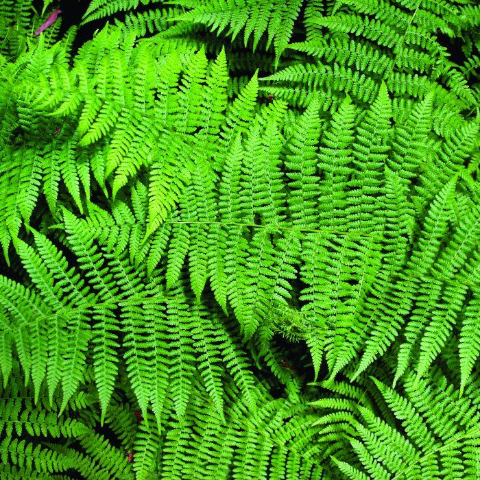 گیاهان گرینوال دیوارسبز